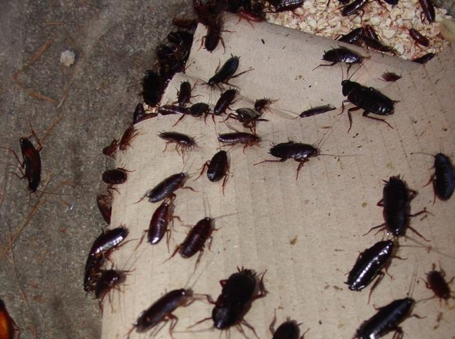 много тараканов