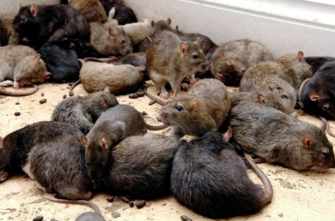 тараканы боятся крыс
