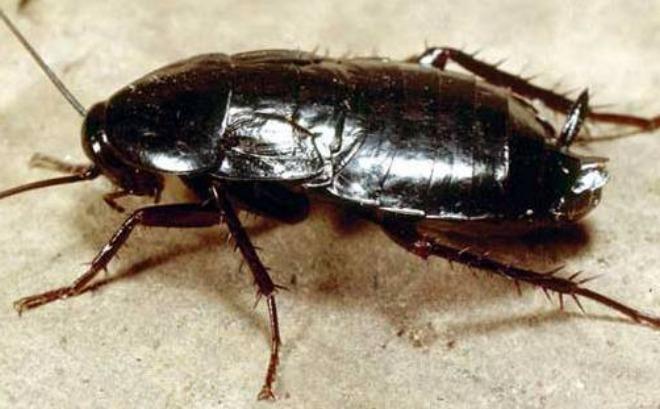 черный таракан внешний вид