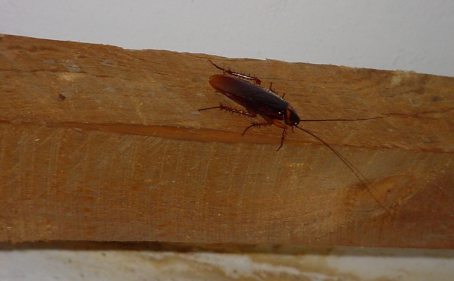 Откуда берутся тараканы в квартире и когда начинать действовать?