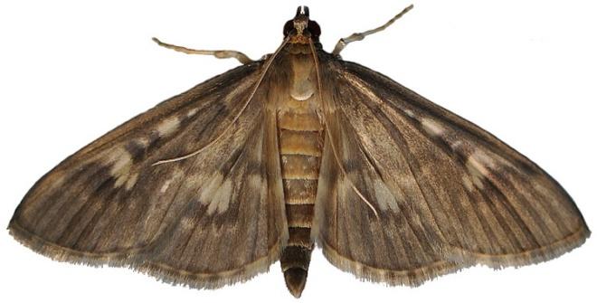 бабочка восковой моли