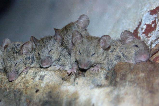 мыши спят