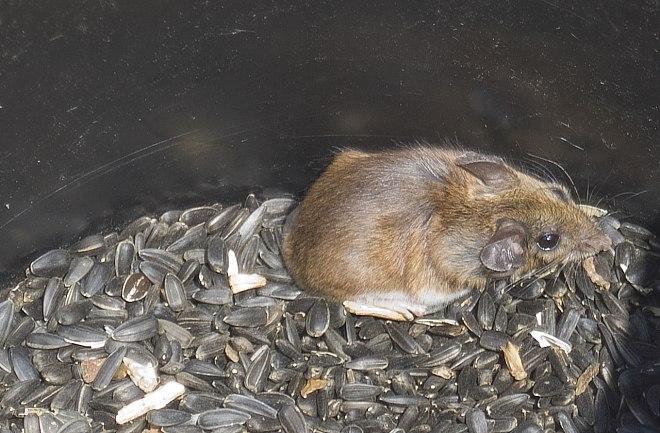 мышь в семечках