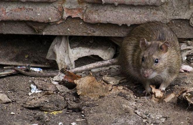серая крыса