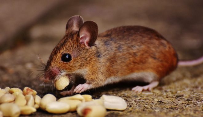 мышь ест арахис