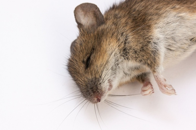 отравленная мышь