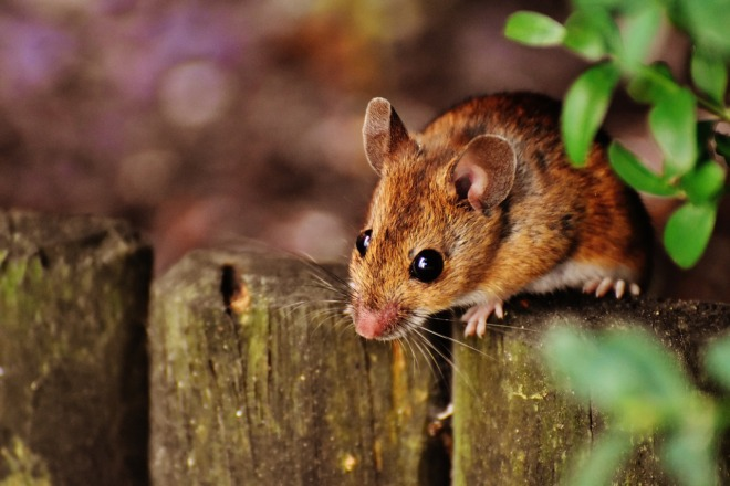мышь коричневая