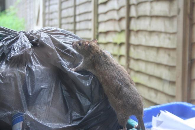 крыса в мусоре
