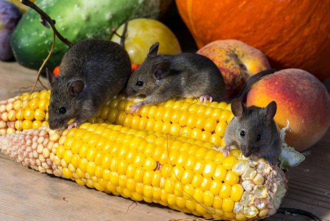 мыши едят кукурузу