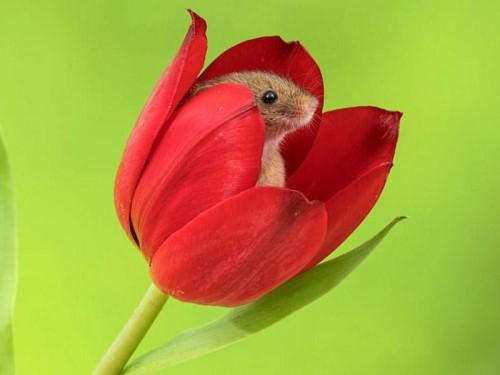 мышка в тюльпане
